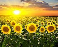 Насіння соняшника Яниш гібрид