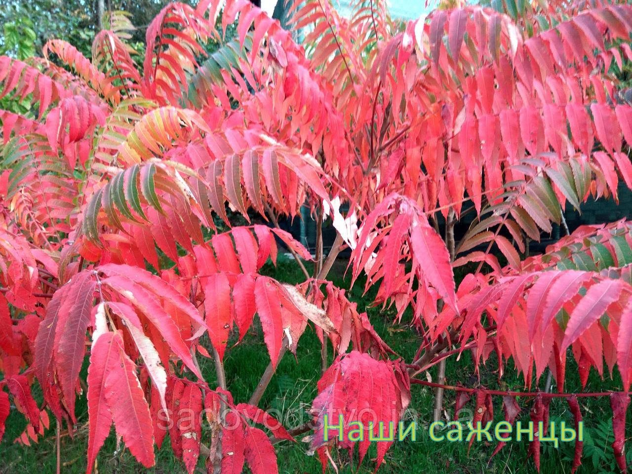 Сумах - СПД  Дубинчук в Одесской области