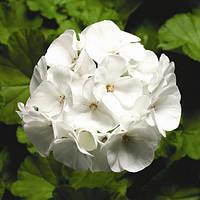 Семена Пеларгония зональная Пинто F1 Белая 100 семян Syngenta