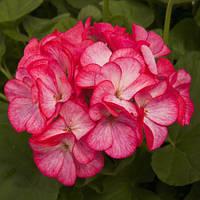Семена Пеларгония зональная Пинто F1 Бело-розовая 100 семян Syngenta