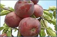 Саженецы яблони сорта Вильямс Прайд