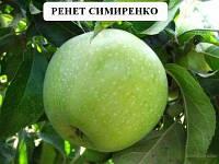 Саженцы яблони сорта Ренет Симиренка