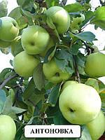 Саженцы яблони сорта Антоновка