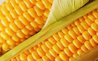 Гибрид  кукурудзы Монблан