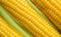 Кукурудза ФАО 280 Афіна насіння Еліт