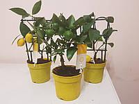 Лимон с плодами 30-35 см.