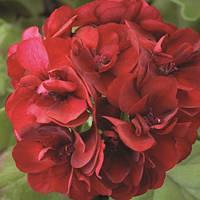 Семена Пеларгония зональная Пинто F1 Темно-красная 100 семян Syngenta