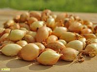 Семена лука-севка Сеншуй F1, 0.5кг, Голландия