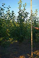Яблоня Джонаголд (Jonagold), 2,0-2,5 метра