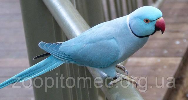 Голубой  Ожереловый Попугай Украина