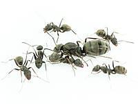 Колония муравьев Formica cinerea Формика синериа для Муравьиной Фермы