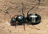 Колония муравьев Formica cinerea + корм Гаммарус в подарок