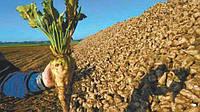 Семена сахарной свеклы Авторитетный под раундап