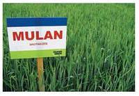 Семена пшеницы озимой Мулан