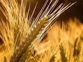 Семена ячменя озимого Наоми 1р
