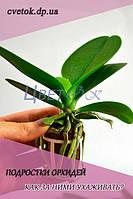Подростки орхидей. Как за ними ухаживать?