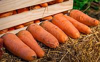 Морковь - экономически выгодная культура