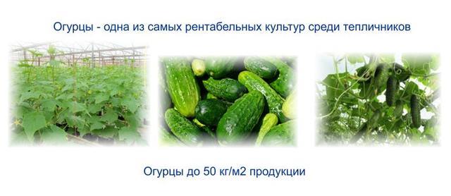 монтаж выращивание огурцов в теплице рентабельность зависит области