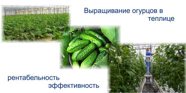 выращивание огурцов в теплице рентабельность свойства характеризуют изменение
