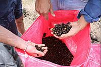Кофе в зернах Никарагуа, ферма: Los Pinos, свежая обжарка