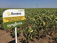 Семена подсолнечника Босфора Сингента 2016 высокоурожайный гибрид лидер засухоустойчивости