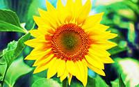 Семена подсолнечника - PR64F50