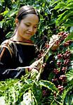 Сбор урожая кофе в разных странах