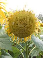 Семена подсолнечника МАС 87 ИР (MAISADOUR)