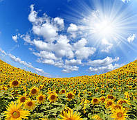 Семена гибрида подсолнечника Сонячний Настрiй под Гранстар