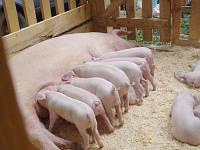 Премикс 4% для лактирующих свиноматок, Германия gepardd.com