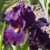 Ирис PURPLE TIGER (SDB) (Black'2011), фото 1