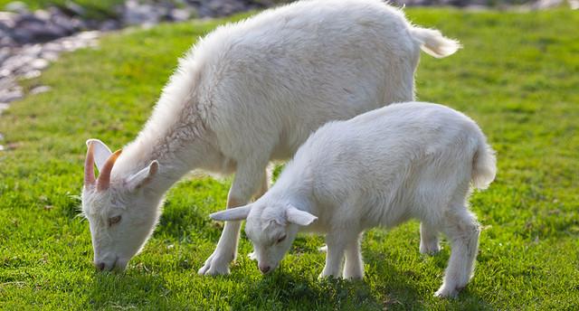 Товары для коз