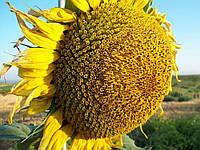 Семена подсолнечника Limagrain ЛГ 5377 урожай 2016 года.