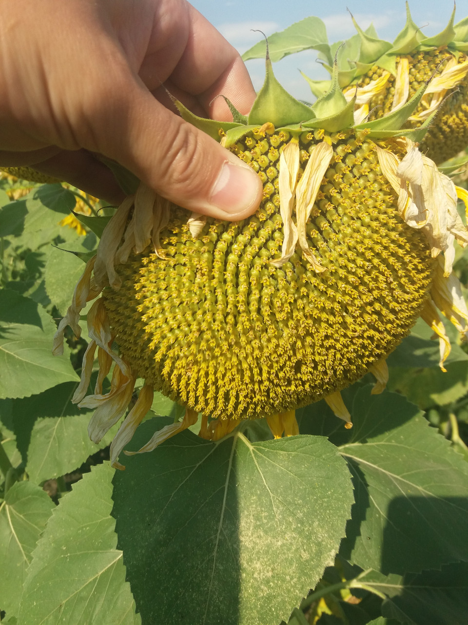 Семена подсолнечника ЛЕЙИЛА, Цена на урожайный гибрид ЛЕЙИЛА устойчивый к заразихе шести рас А-F.