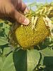 Семена подсолнечника ЛЕЙЛА, Цена на урожайный гибрид ЛЕЙИЛА устойчивый к заразихе шести рас А-F.