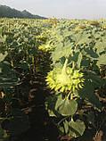 Насіння соняшника ЛЕЙЛА, Ціна на врожайний гібрид ЛЕЙИЛА стійкий до вовчка шости рас А-F., фото 5