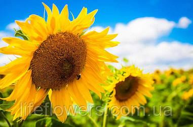 Насіння соняшнику ЛГ 5661КЛ Suneo