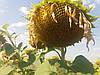 Гибрид подсолнечника ЕС ФЛОРИМИС под Евролайтинг, Семена устойчивые к гербициду Евролайтинг Флоримис