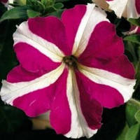 LTD Tritunia  Rose Star