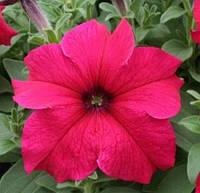 Supercascade Rose