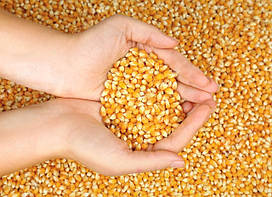 Посевной материал кукурузы