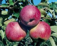Яблоня карлик Флорина