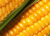 Семена кукурузы Спайси КС ФАО 210