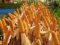Семена кукурузы Оржица 237 МВ, ФАО 240
