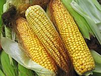 Семена кукурузы Лапери КС фао 260 Кассад Семенс