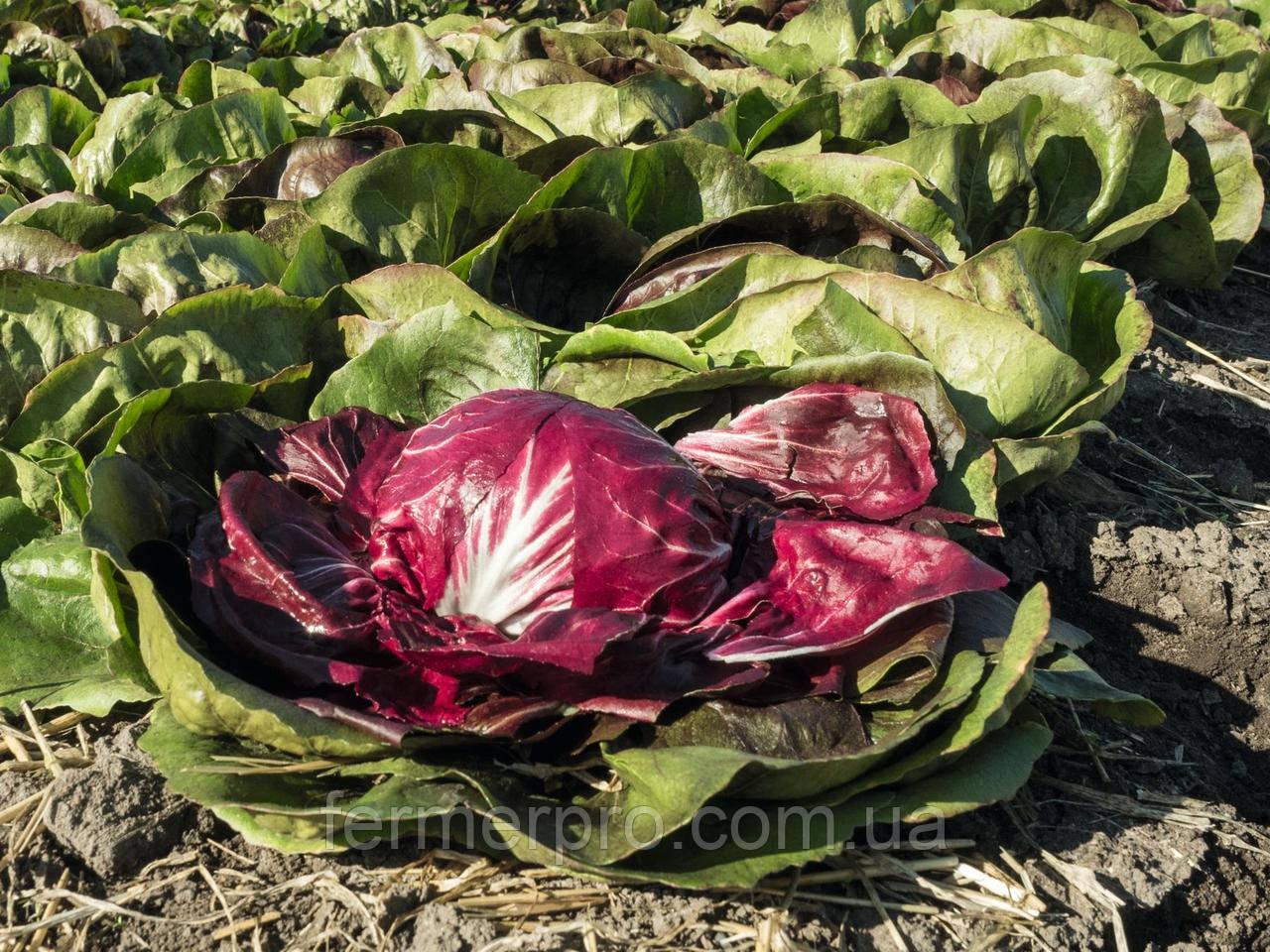 Семена цикория салатного кочанного Васари \ Vasari 5000 семян Bejo zaden