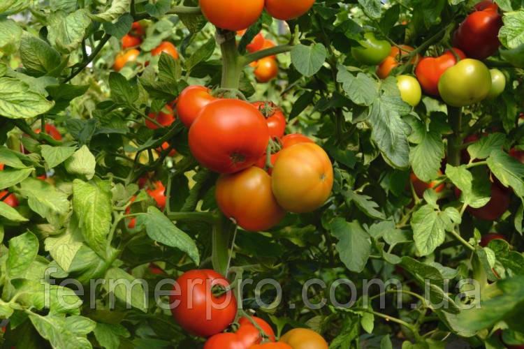 Семена томата Тобольск F1 \ Tobolsk F1 250 семян Bejo Zaden