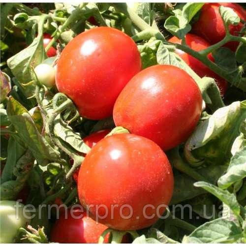 Семена томата Альбароссо F1 \ Albarosso F1 1000 семян Cora Seeds