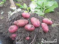 Картофель семенной ранний Ред Скарлет