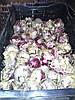 Событие октября — поставка не охлажденной луковицы от компании Jan Langedijk Flowers Bulbs
